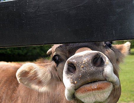 Bull Calf by Samantha Boehnke