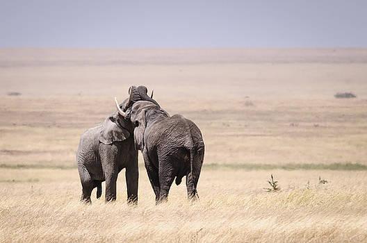 Bull Elephant challenge by Scott Presnell