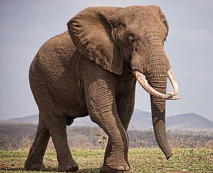 Bull Elephant by George Salter