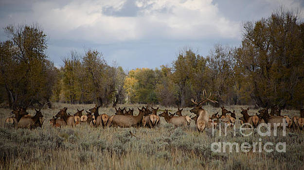 Bull Elk and Harem by Sandy Molinaro