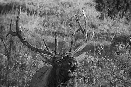 Bull Elk Bugling by Joe Hudspeth