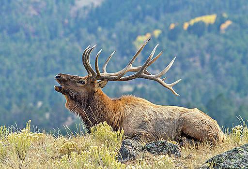 Bull Elk Bugling by Wesley Aston