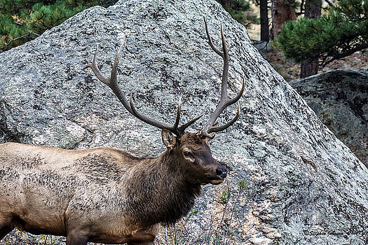 Bull Elk Granite Moss Rock by Stephen  Johnson