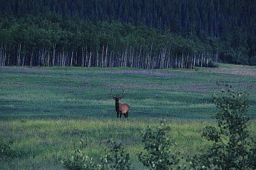 Bull Elk in the Yukon by Kimberly VanNostrand