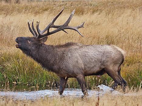 Bull Elk in Yellowstone by Wesley Aston