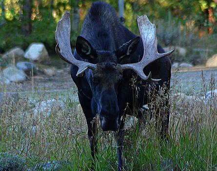 Bull Moose by Bob O'Dean