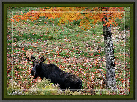 Sandra Huston - Bull Moose in Fall, Framed