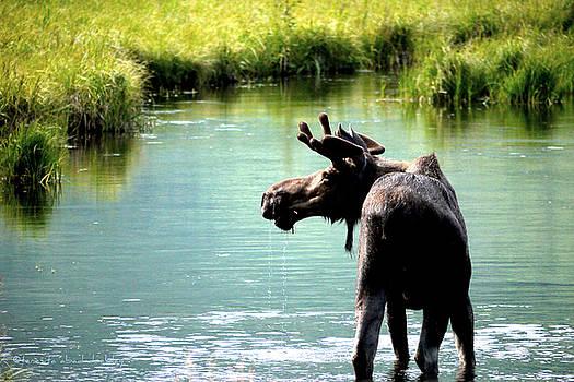 Bull Moose by Teresita Abad Doebley
