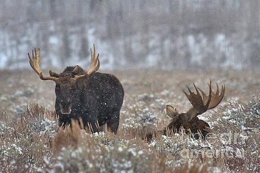 Bull Moose Winter Wandering by Adam Jewell
