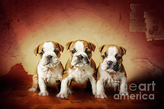 Bulldog puppies by Waldek Dabrowski