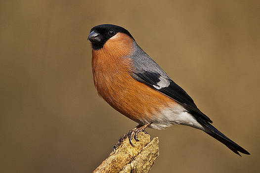 Bullfinch by Andy Beattie Photography