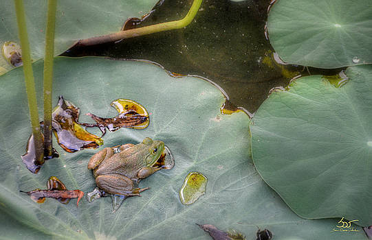 Sam Davis Johnson - Bullfrog on Lily Pad