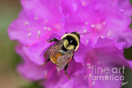 Bumble Bee by Alana Ranney