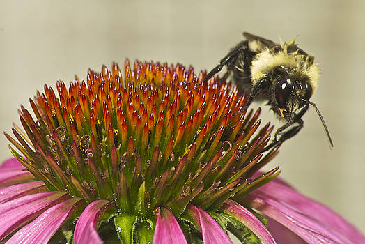 Michael Peychich - Bumble Bee and Cone Flower