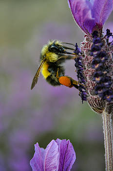 Bumble Bee and Lavender by Emilia Brasier