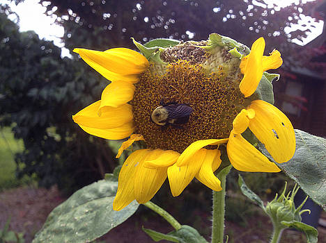 Bumble Bee Munchin Down The Sunflower by Crissy Anderson