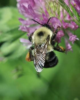 Bumble Bee on Clover Flower by Dot Lestar Roberts