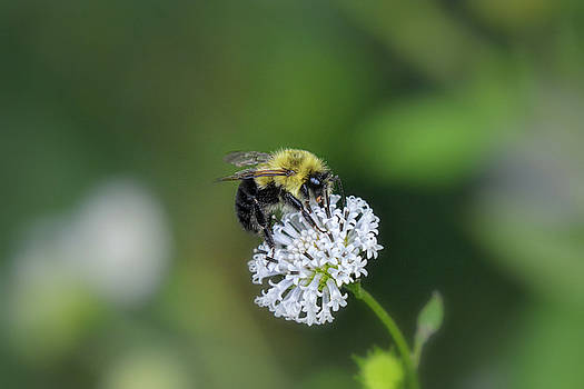 Bumble Bee on White Wild Flower on banks of Tennessee River at Shiloh National Military Park by WildBird Photographs