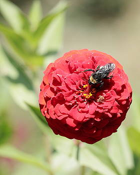 Bumble Bee on Zinnia by John Moyer