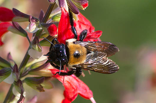 Bumble Bee by Willard Killough III