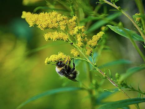 Bumblebee and Canadian goldenrod 13 by Jouko Lehto