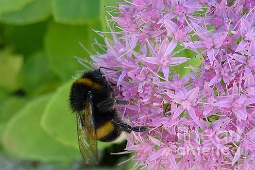 Bumblebee on Mauve Flowers by Jean Bernard Roussilhe