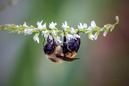 Bumblebee On Wildflower by Brian Wallace