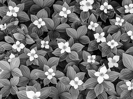 Bunchberry Flowers Black and White by Scott Leslie