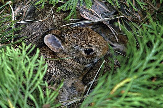 Bunny Nursery by Alynne Landers