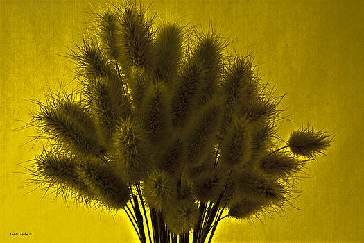 Sandra Foster - Bunny Tail Grasses