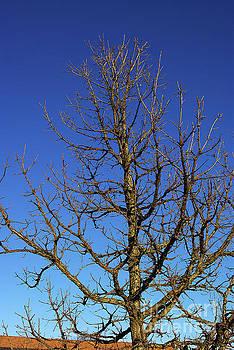 Bur Oak, Quercus macrocarpa, Wisconsin tree, prairie, savanna by R V James