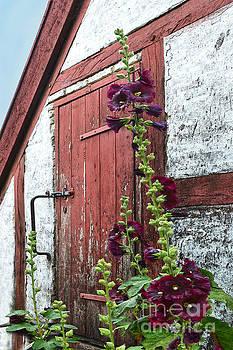 Burgundy Hollyhocks in Aarhus, Denmark by Catherine Sherman
