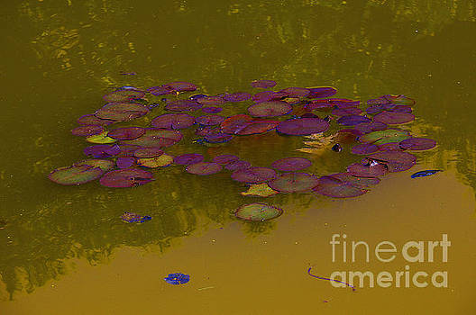 Burgundy Lily Pads, copper water by David Frederick