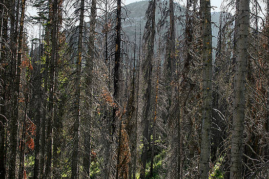 Burnt trees by Larry Darnell