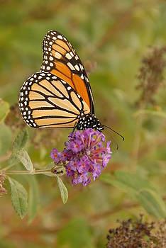 Butterfly by Jaren Johnson