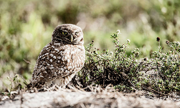 Burrowing Owl 2 by Tracy Winter