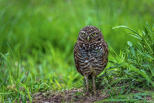 Burrowing Owl - 4722a by Debra Kewley