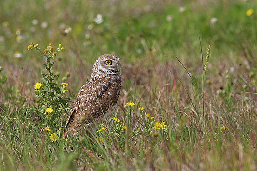 Paul Rebmann - Burrowing Owl and Flowers