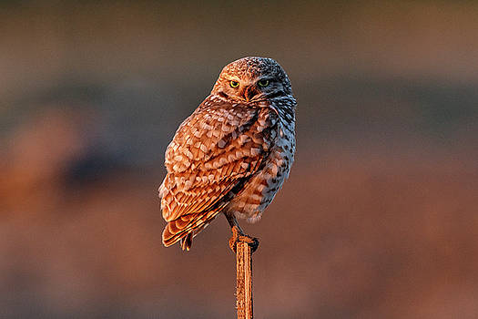Burrowing Owl At First Light by Wes and Dotty Weber