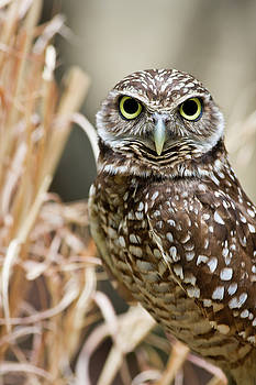 Jill Lang - Burrowing Owl Head Shot