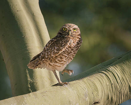 Rosemary Woods-Desert Rose Images - Burrowing owl-IMG_146117