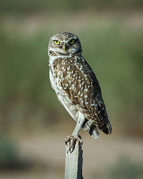 Rosemary Woods-Desert Rose Images - Burrowing owl-IMG_607616