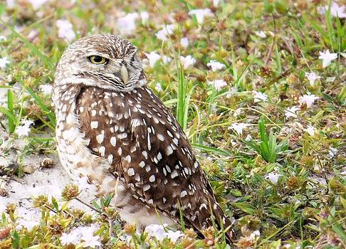 Burrowing Owl in Nature by Rosalie Scanlon
