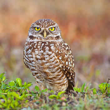 Burrowing Owl by Larry Hughes