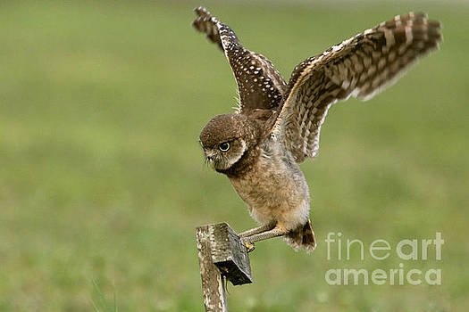 Burrowing Owl - Learning to Fly by Meg Rousher
