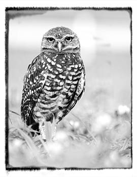 Burrowing Owl by Martha Lyle