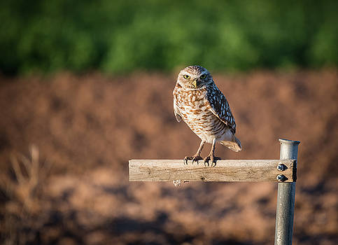 Gloria Anderson - Burrowing owl on a perch