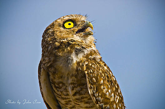 John Tarr Photography  Visual Adventurer - Burrowing Owl on the Look Out