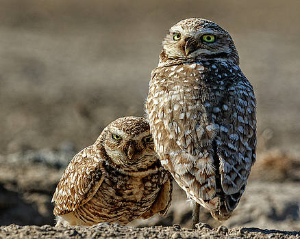 Burrowing Owl Parents by Wes and Dotty Weber