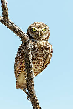 Burrowing Owl Perch by Wes and Dotty Weber